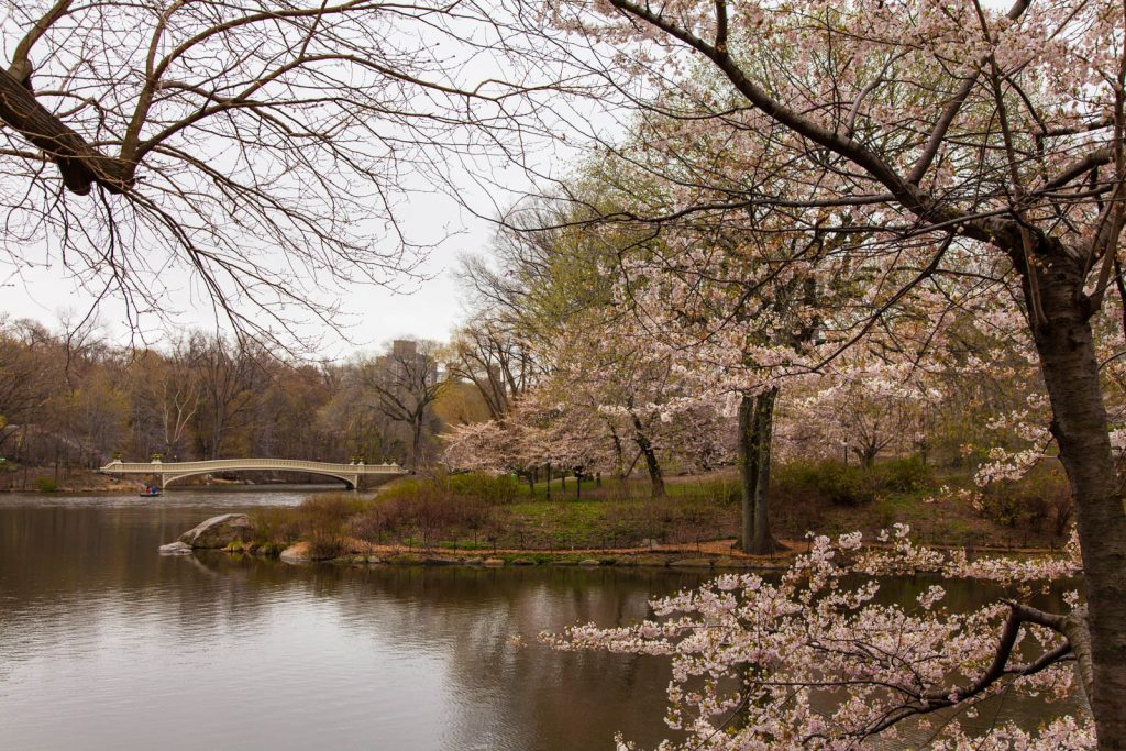 Cherry Blossom of Central Park