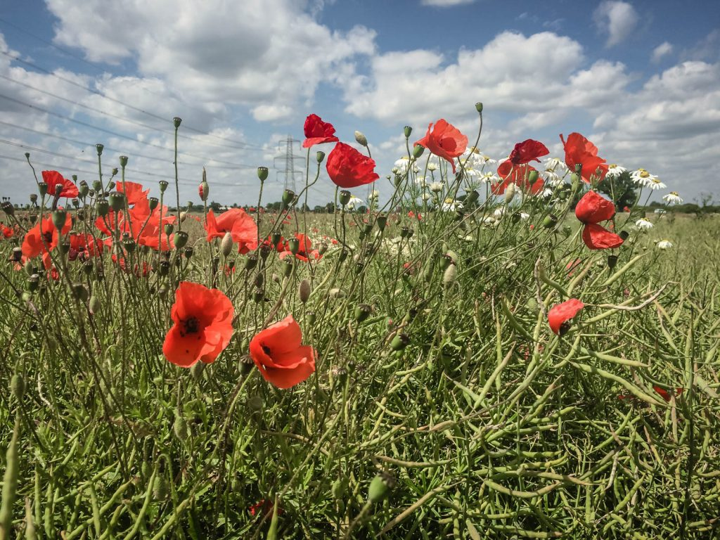 North Yorkshire Poppy Field 1