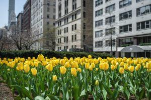 New York CIty Yellow Tuplips