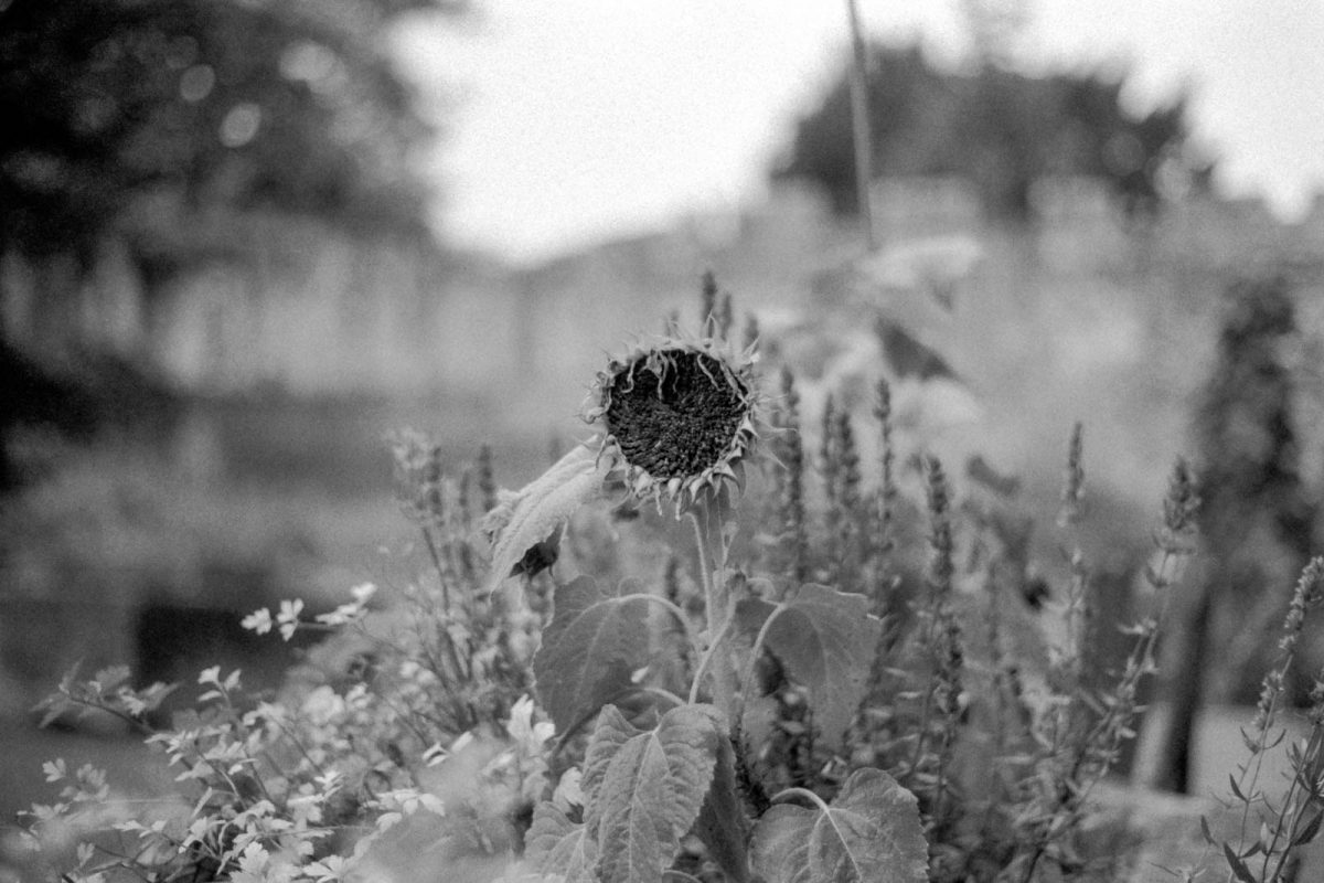 Dead Sunflower